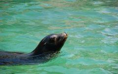 Морской лев плавает в воде
