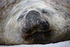 Южный морской слон (Mirounga leonina)