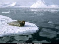 Серый тюлень (Halichoerus grypus)