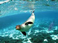 Тюлень-монах, белобрюхий тюлень (Monachus monachus)
