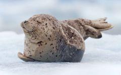 Улыбающийся тюлень