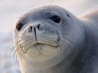 Тюлень млекопитающее