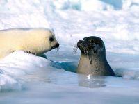 Тюлениха с детенышем