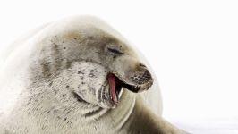 Тюлень-крабоед (Lobodon carcinophagus)