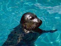 Морское ластоногое животное