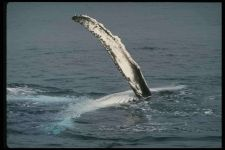 Передний плавник горбатого кита