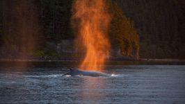 Горбатый кит на закате