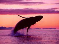 Выпрыгнувший из воды горбатый кит