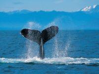 Горбатый кит. Хвост