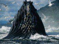 Голова горбатого кита