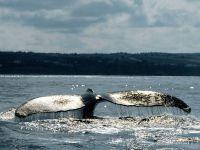 Хвостовой плавник горбатого кита
