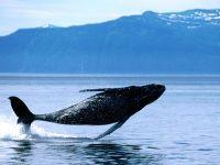 Резвящийся кит горбач