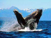 Размножение горбатых китов