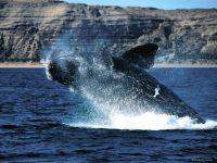 Гладкий кит (Eubalaena)