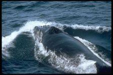 Дыхало горбатого кита