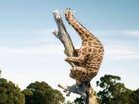 Жираф, залезший на дерево