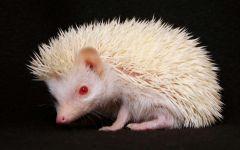 Еж (ежик) альбинос