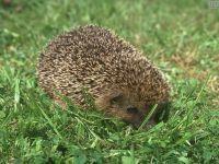 Ежик, спрятавшийся в траве
