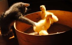 Котенок охотится за гусятами