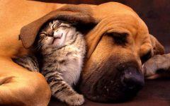 Котенок спит под ухом бладхаунда