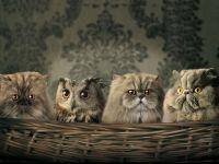 Сова спряталась среди персидских кошек