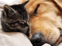 Котенок и золотистый ретривер