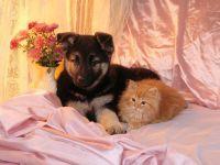 Щенок немецкой овчарки и рыжий котенок