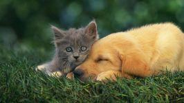 Серый котенок и щенок