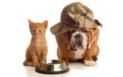 Английский бульдог и котенок около миски с кормом