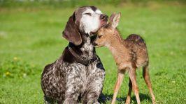 Легавая собака и олененок