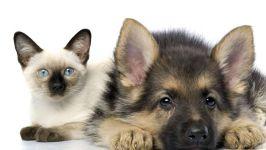 Сиамский котенок и щенок немецкой овчарки