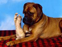 Собака боксер и рыжий котенок
