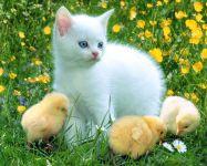Белый котенок и три цыпленка