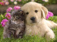 Щенок золотистого ретривера и серенький котёнок, прикольное фото смешная