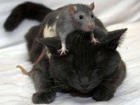Домашняя крыса сидит на голове у кошки, прикольное фото смешная