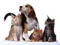 Щенок бигля и три котенка, прикольное фото смешная