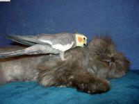 Попугай корелла гуляет по персидскому коту, прикольное фото смешная