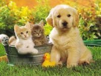 Щенок золотистого ретривера с котятами, прикольное фото смешная
