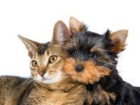 Кошка и щенок йоркширского терьера, прикольное фото смешная