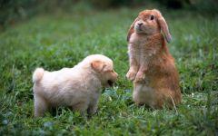 Щенок и карликовый вислоухий кролик, прикольное фото смешная
