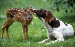 Лангхаар и оленёнок, прикольное фото смешная