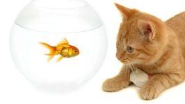 Рыжий кот наблюдает за золотой рыбкой в аквариуме, прикольное фото смешная