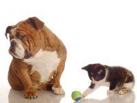 Английский бульдог и играющий с мячом котенок, прикольное фото смешная