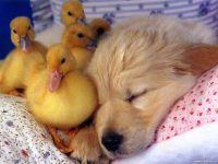 Спящий щенок и утята, прикольное фото смешная