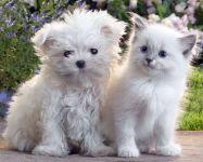 Кудрявый щенок и белый котенок, прикольное фото смешная