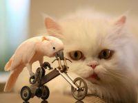 Персидская кошка наблюдает за катающимся на велосипеде какаду, прикольное фото смешная