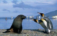 Встреча королевских пингвинов и морского льва, прикольное фото смешная