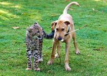 Щенок и котенок гепарда, прикольное фото смешная