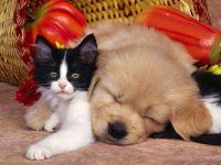 Спящий рыжий щенок и котёнок, прикольное фото смешная
