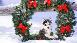 Щенок хаски и новогодний венок